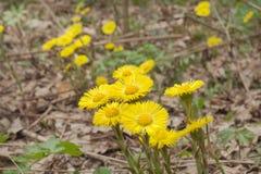 Flores do coltsfoot na haste leafless Prímulas amarelas da mola Fotografia de Stock Royalty Free