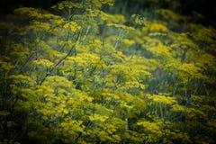 Flores do cominhos, uma exploração agrícola pequena do cominhos fotografia de stock