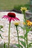 Flores do cone Imagens de Stock