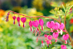 Flores do coração de sangramento (spectabilis do Dicentra) Imagens de Stock Royalty Free