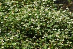 Flores do cordata do Houttuynia fotografia de stock royalty free