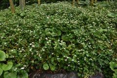 Flores do cordata do Houttuynia foto de stock royalty free