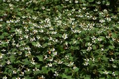 Flores do cordata do Houttuynia foto de stock