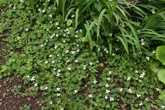 Flores do cordata do Houttuynia fotografia de stock