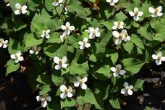 Flores do cordata do Houttuynia fotos de stock