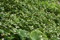 Flores do cordata do Houttuynia imagens de stock