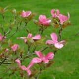 Flores do corniso Imagens de Stock Royalty Free
