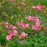 Flores do corniso Foto de Stock
