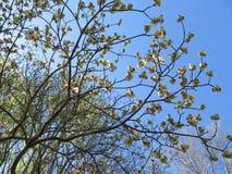 Flores do corniso Imagens de Stock
