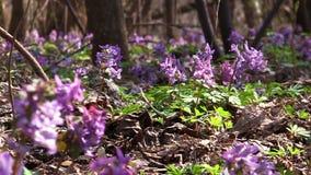 Flores do Corydalis na madeira video estoque
