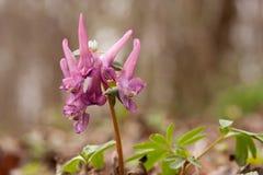 Flores do Corydalis que florescem na mola adiantada Foto de Stock Royalty Free