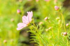 Flores do cosmos imagem de stock royalty free