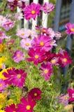 Flores do cosmos. Imagens de Stock Royalty Free