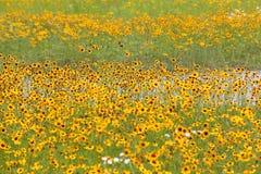 Flores do cosmos Imagem de Stock