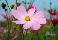 Flores do cosmos Imagens de Stock Royalty Free