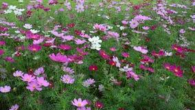 Flores do cosmos vídeos de arquivo