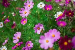 Flores do cosmos Fotos de Stock Royalty Free