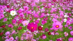 Flores do cosmos video estoque