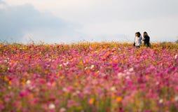 Flores do cosmos Foto de Stock Royalty Free