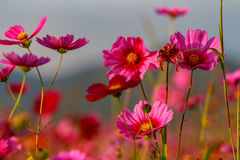 Flores do cosmos Foto de Stock Royalty Free