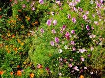 Flores do cosmos Imagens de Stock