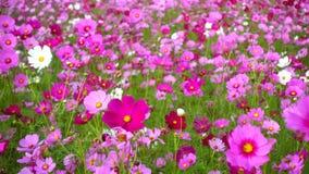 Flores do cosmos filme