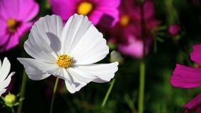 Flores do cosmos, cosmos branco video estoque