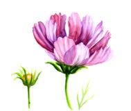 Flores do cosmos da aquarela Fotografia de Stock