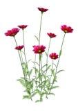 flores do cosmos da rendição 3D no branco Fotografia de Stock