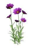 flores do cosmos da rendição 3D no branco Foto de Stock