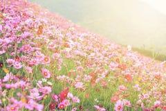 Flores do cosmos na florescência Foto de Stock