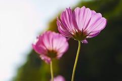 Flores do cosmos na manhã Fotos de Stock