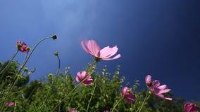 Flores do cosmos no campo verde video estoque