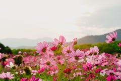 Flores do cosmos no por do sol Fotografia de Stock