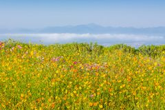 Flores do cosmos que florescem com manhã nevoenta fotos de stock