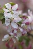 Flores do crabapple da mola com luz solar filtrada imagem de stock royalty free