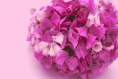Flores do cravo Fotos de Stock