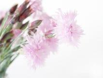 Flores do cravo Fotografia de Stock Royalty Free