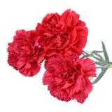 Flores do cravo Imagem de Stock