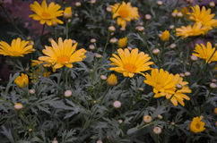 Flores do cravo-de-defunto Imagens de Stock Royalty Free