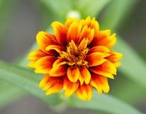 Flores do cravo-de-defunto imagem de stock royalty free