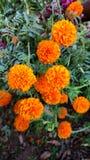 Flores do cravo-de-defunto Foto de Stock
