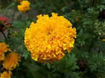 Flores do cravo-de-defunto Imagem de Stock