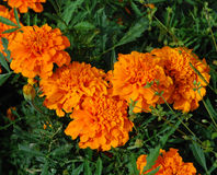 Flores do cravo-de-defunto alaranjado Imagens de Stock Royalty Free