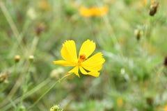 Flores do cravo-de-defunto no jardim Imagem de Stock