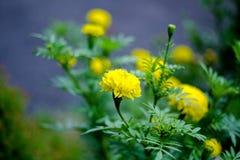 Flores do cravo-de-defunto no jardim bonito Imagem de Stock Royalty Free