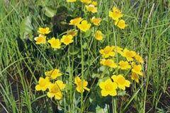 Flores do cravo-de-defunto de pântano Palustris do Caltha que crescem no pântano Apenas chovido sobre Fotos de Stock Royalty Free