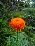 Flores do crisântemo imagens de stock royalty free