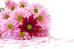 Flores do crisântemo imagens de stock