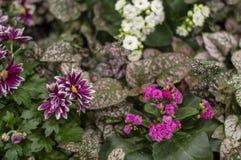 Flores do crisântemo, crisântemos anuais imagens de stock